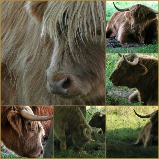 Scottish Highland Cows Mosaique - Scotiana.com