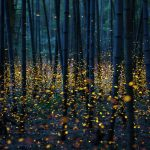 Fireflies - Photo by Kei Nomiayama