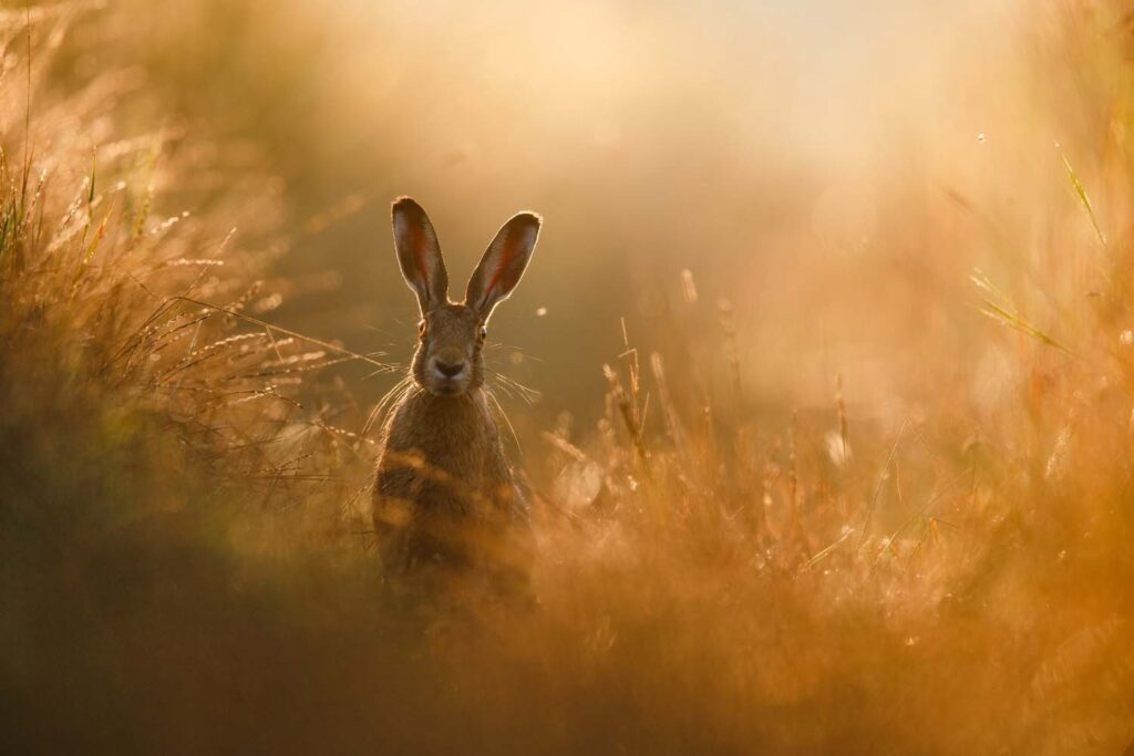 nature photography hare on a dirt road